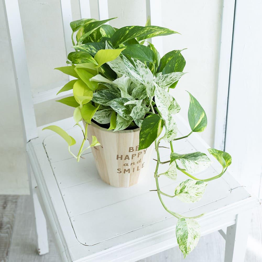 観葉植物ポトス3色植え