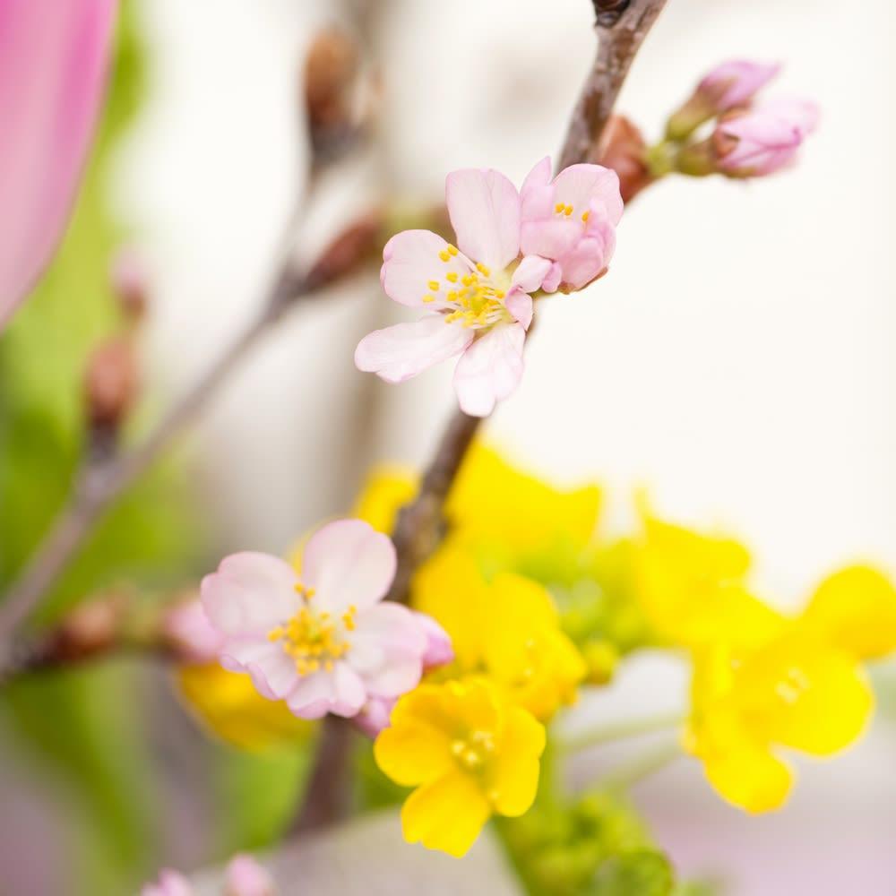 山形からの春便り啓翁桜8本(ミドル)