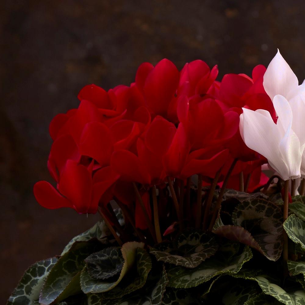 紅白シクラメン寄せ植え 深い赤が白を引き立てます