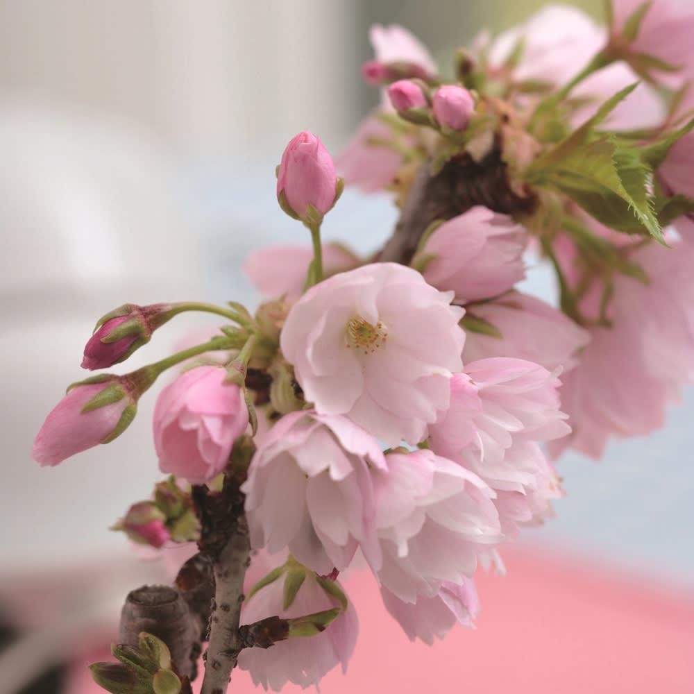 桜盆栽 「旭山(あさひやま)」【お歳暮のし付き】 花アップ