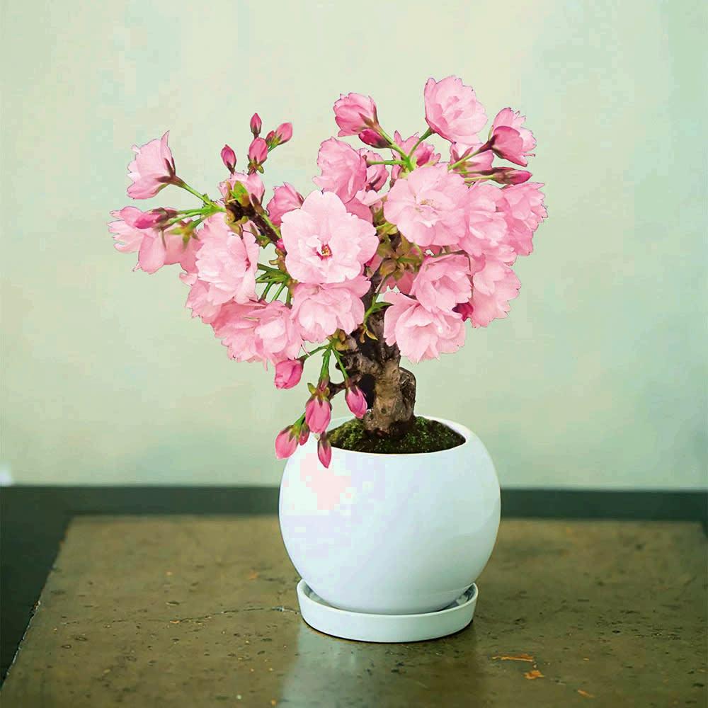 桜盆栽 「旭山(あさひやま)」【お歳暮のし付き】 八重咲きのやさしいピンクが魅力的