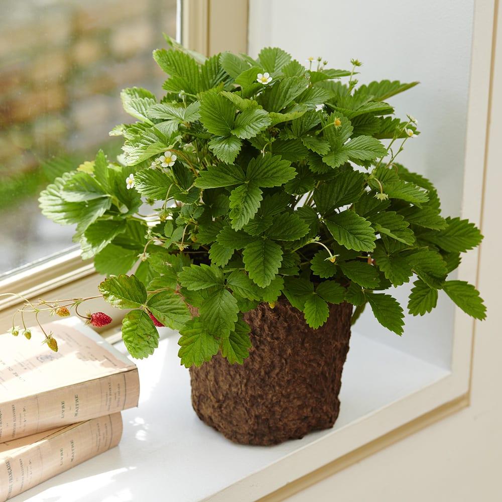 キッチンハーブ ワイルドストロベリー 鉢花・鉢植え