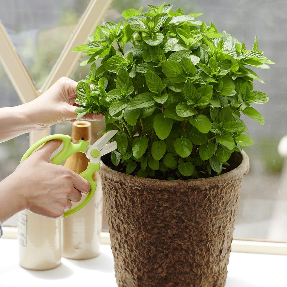 キッチンハーブ ミント寄せ植え 鉢花・鉢植え