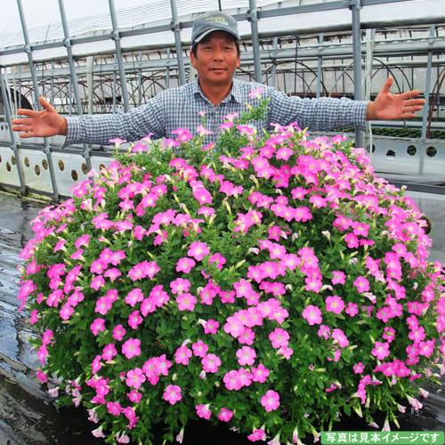 【母の日ギフト】大きな鉢に植え替えるとこんなに大きく!ペチュニア「マドンナの宝石(ピンク)」 お手入れによっては、こんなに大きくなります!!