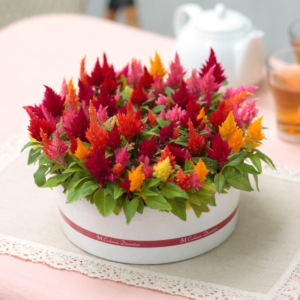 【母の日ギフト】色とりどりのケーキみたいなケイトウ 鉢花・鉢植え