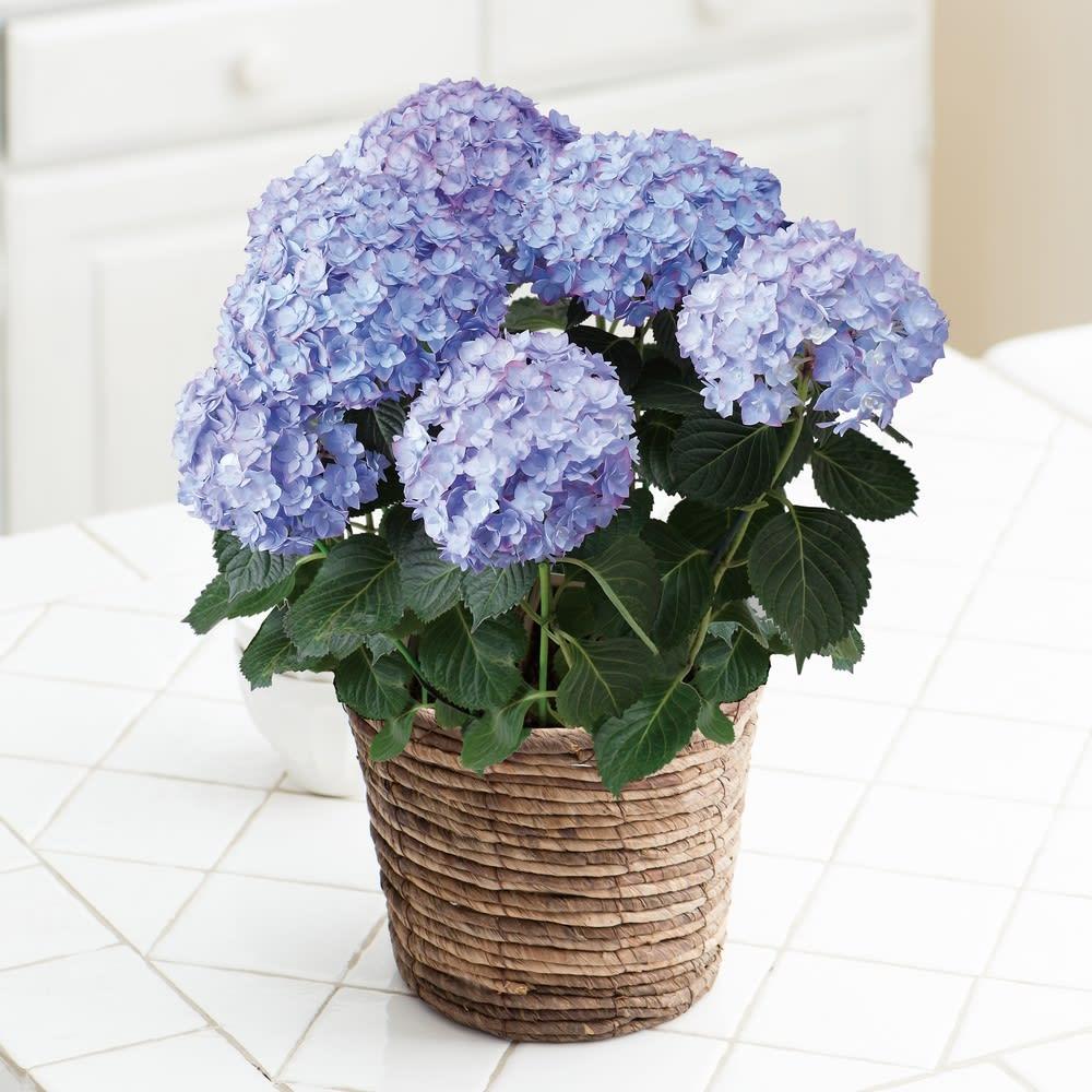 【母の日ギフト】さかもと園芸のアジサイ「エビータ・パープル」 鉢花・鉢植え