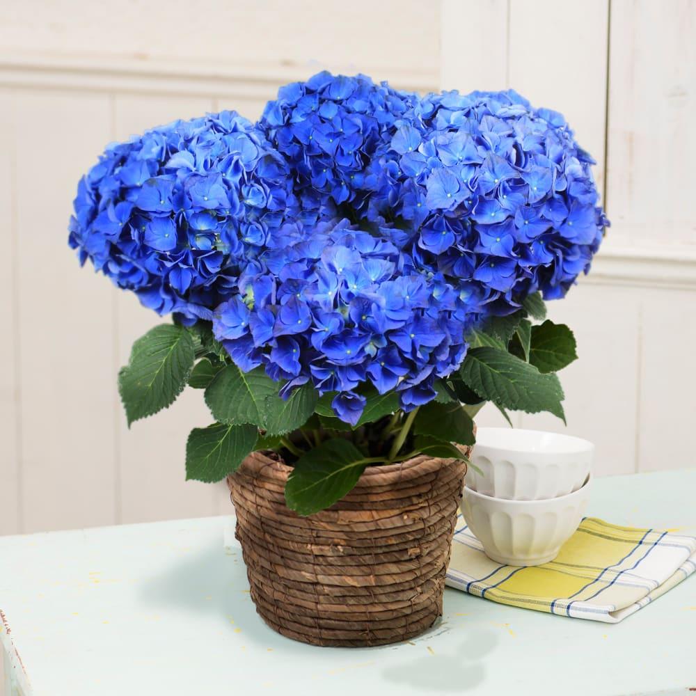 【母の日ギフト】アジサイ「ブルーアース(碧い地球)」 鉢花・鉢植え