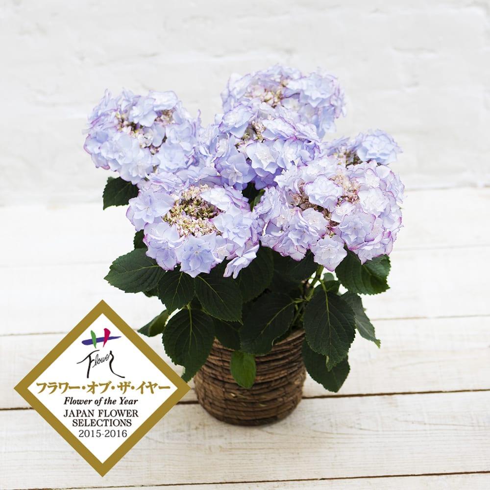 【母の日ギフト】さかもと園芸の色と形が変わるアジサイ「KEIKO」(ブルー) 鉢花・鉢植え