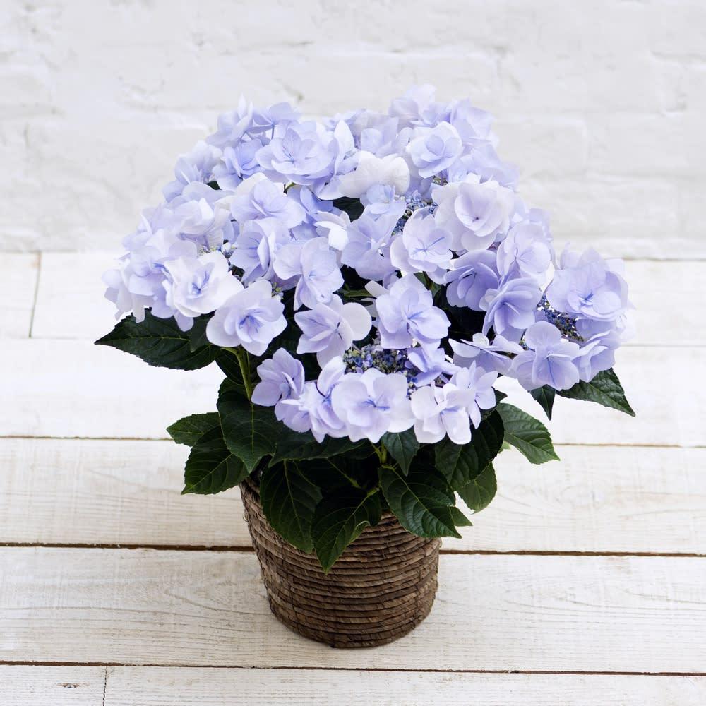 【母の日ギフト】さかもと園芸のアジサイ「ノーブル・ブルー」 鉢花・鉢植え