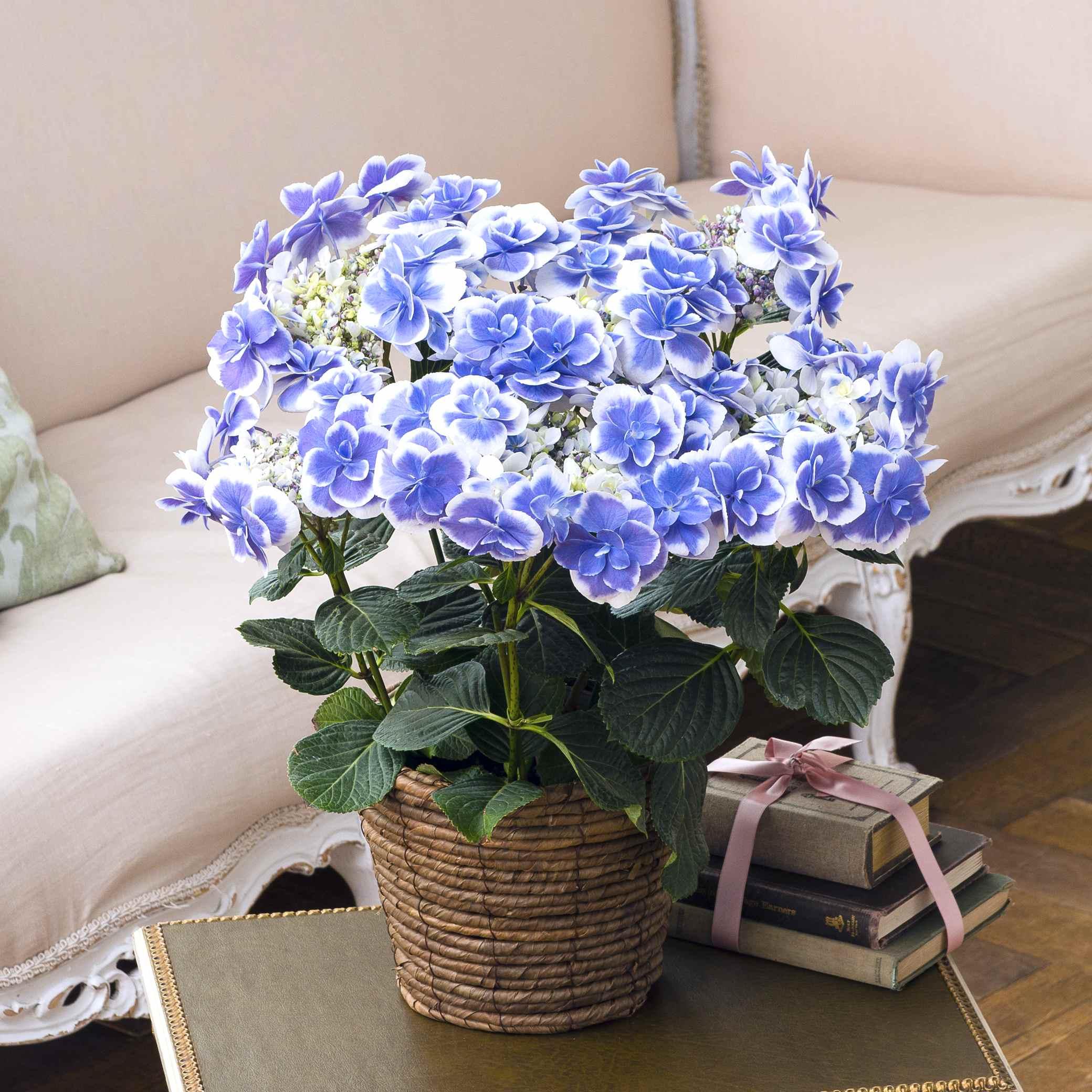 【母の日ギフト】さかもと園芸のアジサイ「ドリップ」 鉢花・鉢植え