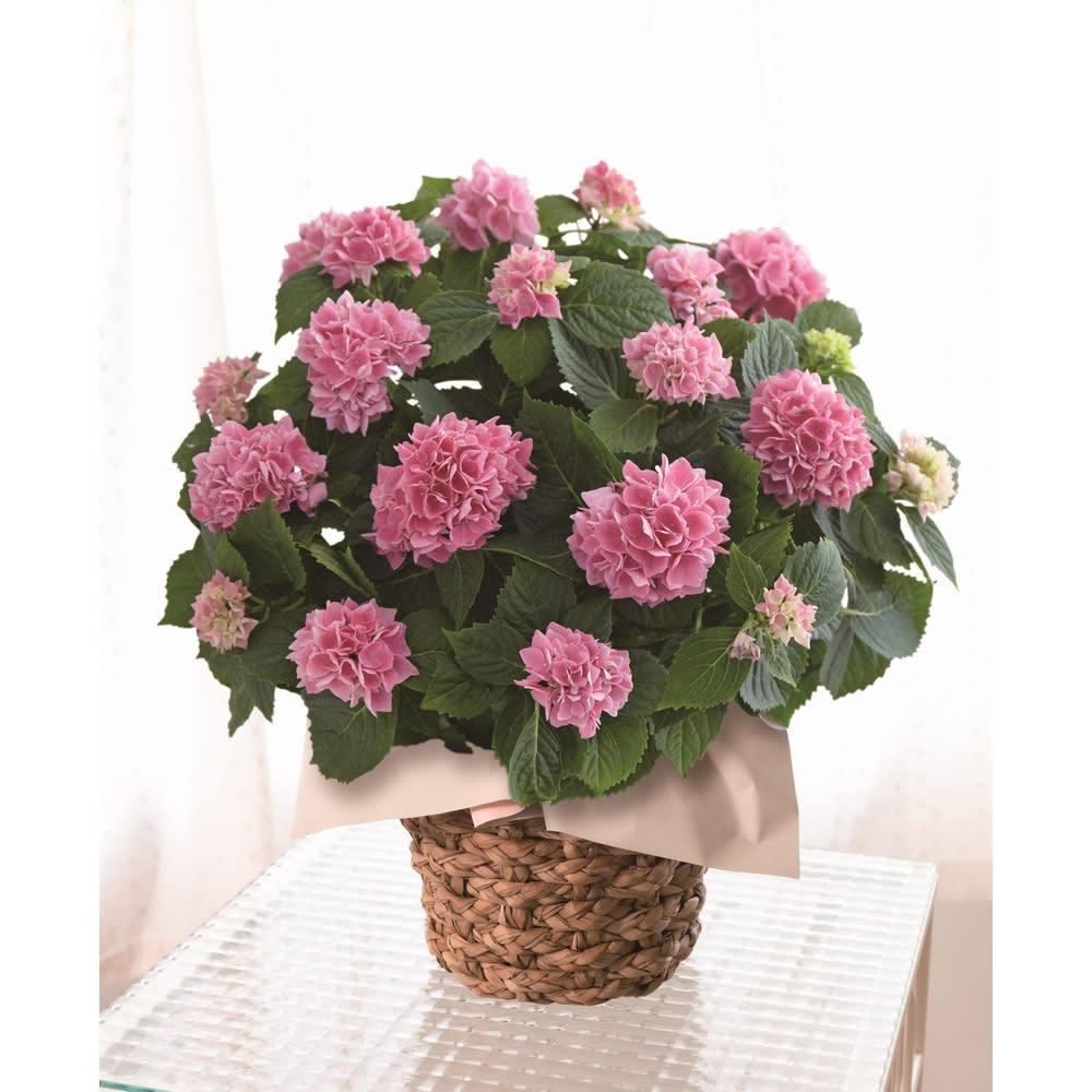 【母の日ギフト】アジサイ「茜雲」 鉢花・鉢植え