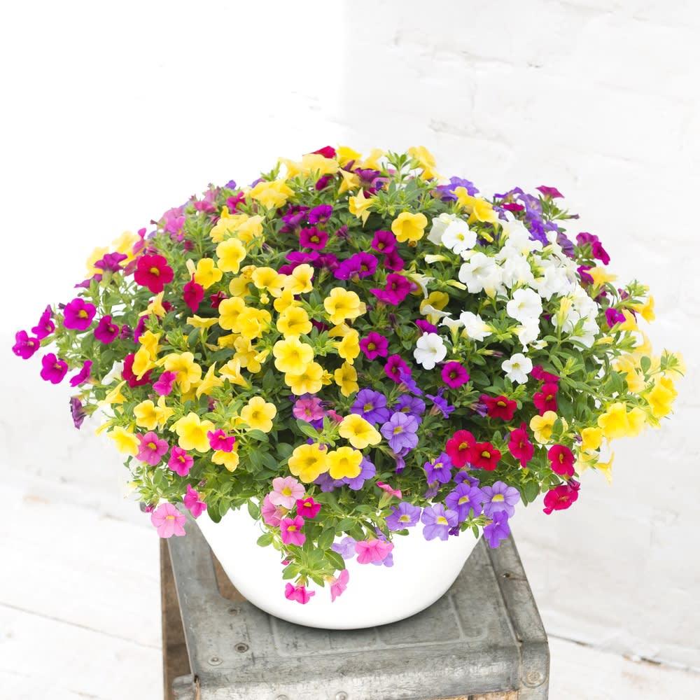 カリブラコア寄せ植え 鉢花・鉢植え