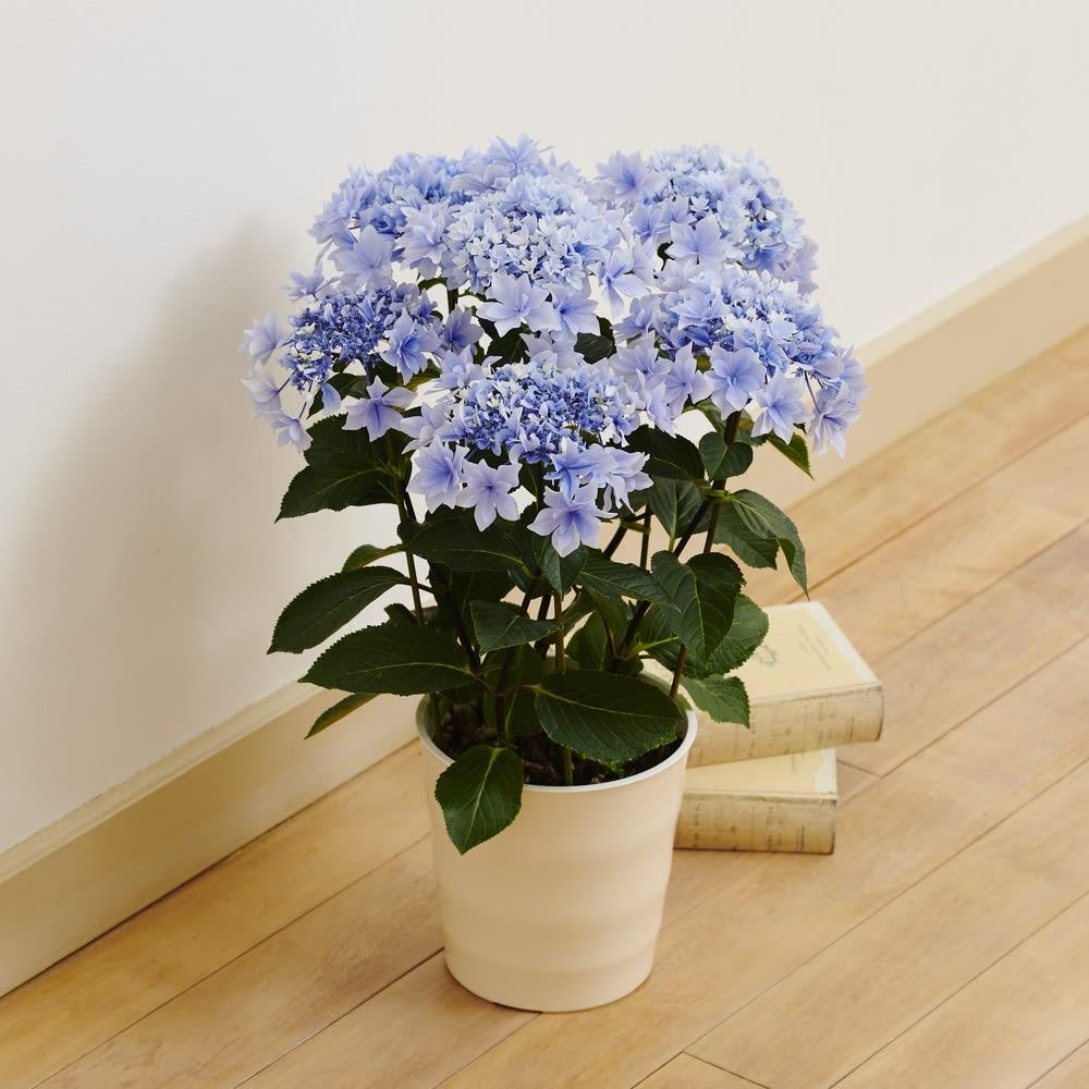 【母の日ギフト】 アジサイ「ふわわ」 鉢花・鉢植え