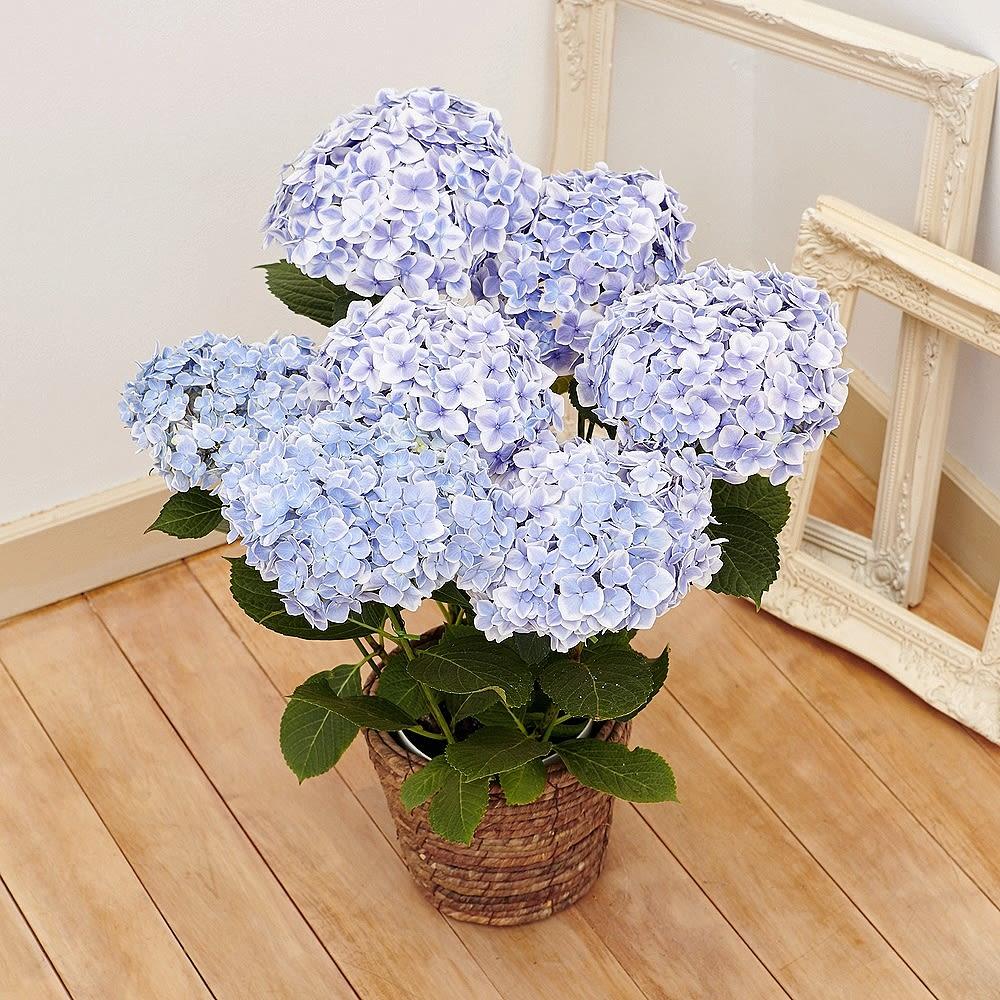 【母の日ギフト】アジサイ「ありがとう」(ブルー) 鉢花・鉢植え