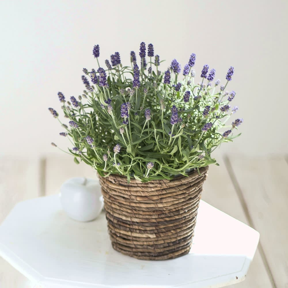 【母の月のプレゼント】漂う香りは素敵な贈り物 春・秋の2回花咲くラベンダー「アロマティコ」 鉢花・鉢植え