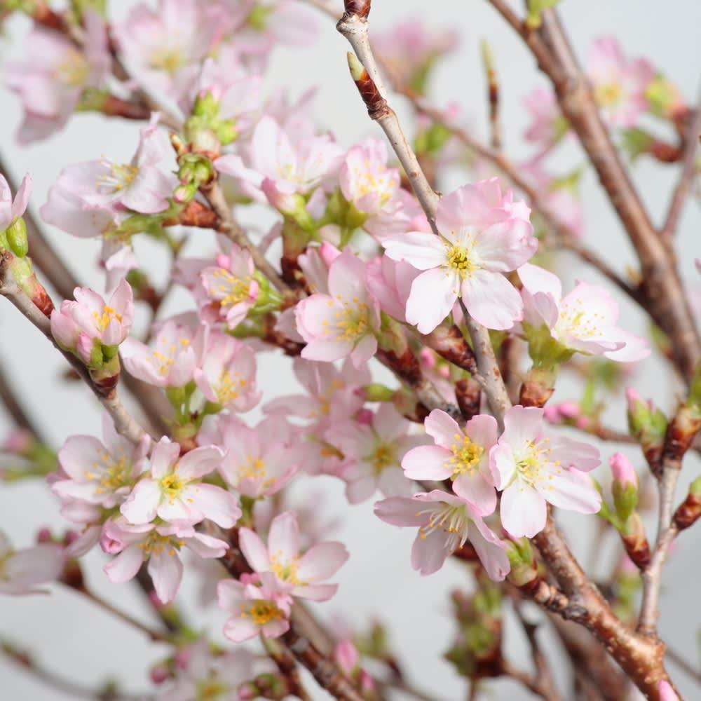 山形からの春便り啓翁桜8本(ミドル) 啓翁桜アップ