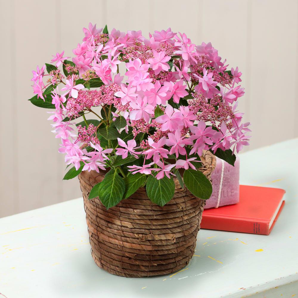 「星咲きアジサイ」の名の通り、花びらが星形に可憐に輝きます。