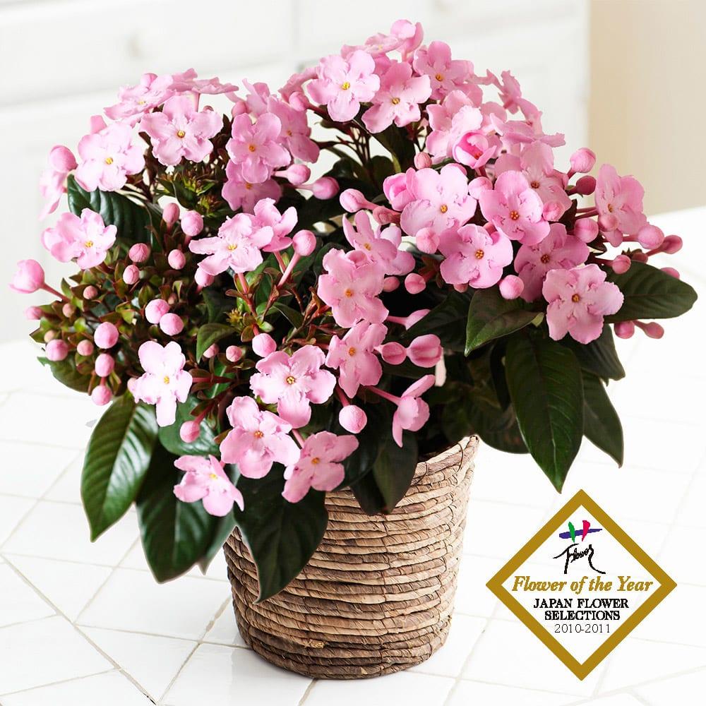 【ディノスの敬老の日】ギフト プレゼント ニオイザクラ COCO ココ 鉢植え 生花 鉢花 花 ピンク ルクリア においざくら FP3514