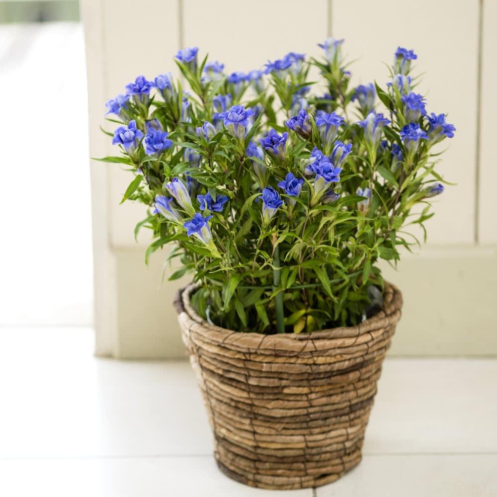 八重咲き りんどう 鉢植え 生花 鉢花