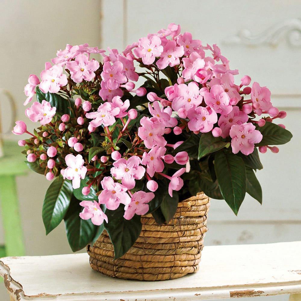 においざくら 「COCO」 ココ 鉢植え 【お歳暮のし付き】 鉢花 生花 ピンク お歳暮 ギフト プレゼント 誕生日 FP4215