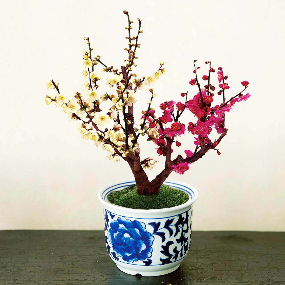 紅白梅 盆栽 苔 紅白 鉢植え 鉢花 生花 花 梅 冬 ギフト プレゼント 新春 迎春 お正月 日本製 FP4305