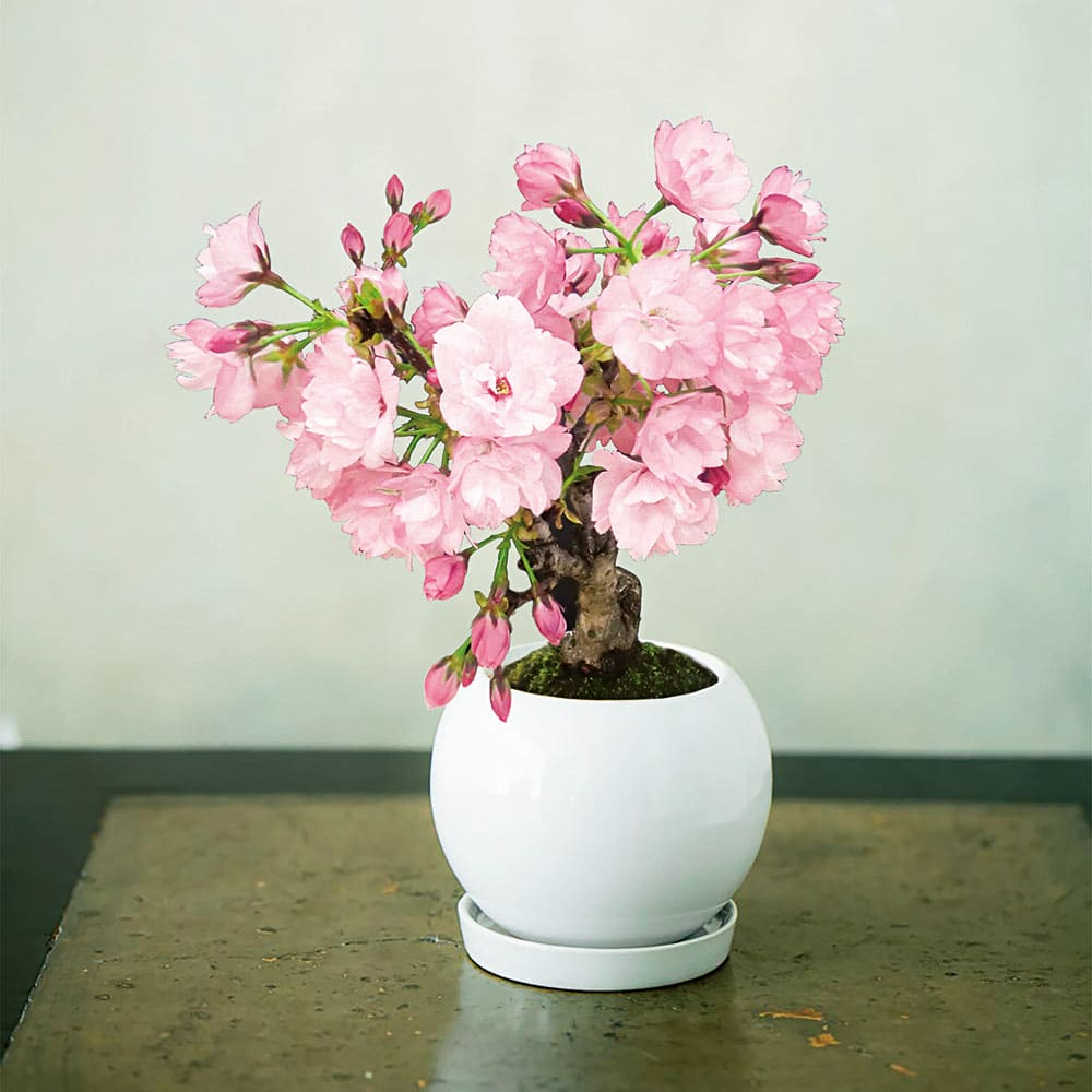 桜 盆栽 「旭山」 あさひやま お歳暮 のし付き 鉢花 ピンク インテリア 和モダン 冬 ギフト プレゼント 新春 迎春 お正月 誕生日 FP4322