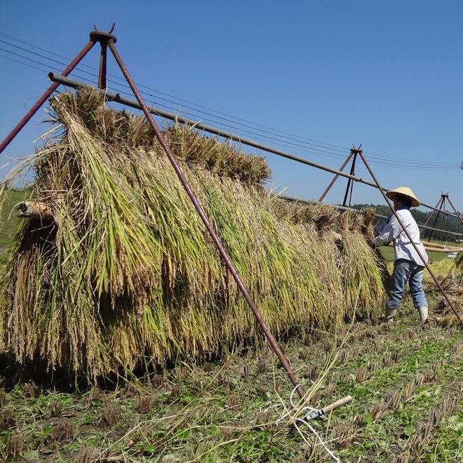 """魚沼産こしひかり 有機JAS・はざかけ米 2kg 昔ながらの""""はざかけ""""で稲を乾燥しております。"""