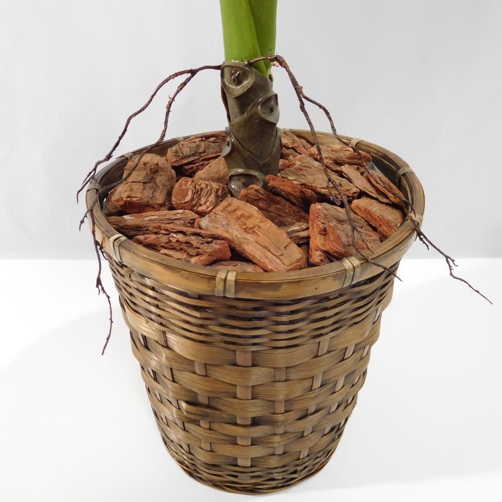 CT触媒加工 インテリアグリーン クワズイモ(鉢カバー付き)