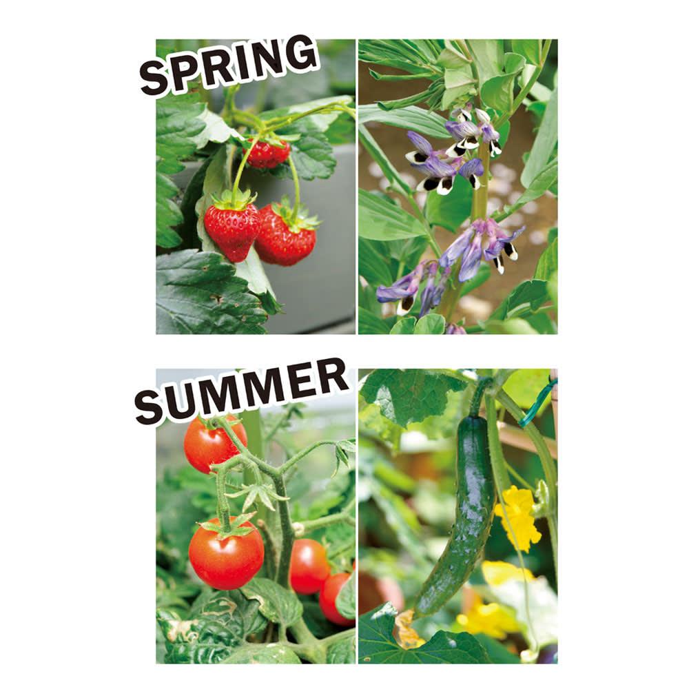 木製菜園プランター ベジトラグ S 季節別にベジトラグにおすすめの植物を紹介します。[春]ツル性のソラマメをトレリスに這わせ背景に。手前にイチゴ、隙間はレタスやチャイブで瑞々しく。[夏]夏野菜の代表格トマト、キュウリに細葉がかわいいニンジンを合わせて。害虫対策にマリーゴールドを。
