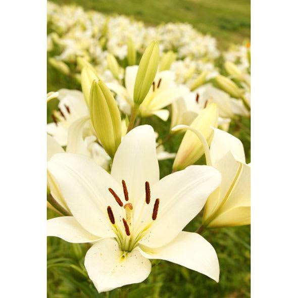創業1866年槙田商店/ジャカード織 晴雨兼用長傘(UVカット加工) 絵おり 百合/ベージュ 百合の花をイメージしてデザインしました