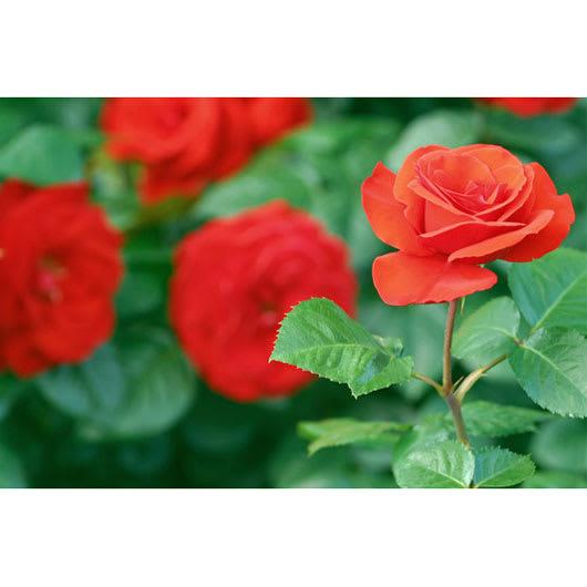 創業1866年槙田商店/ジャカード織 晴雨兼用長傘(UVカット加工) 絵おり 薔薇 バラの花をイメージしてデザインしました