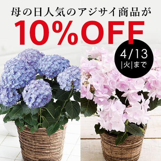 春のフラワー週替わりキャンペーン「アジサイ」