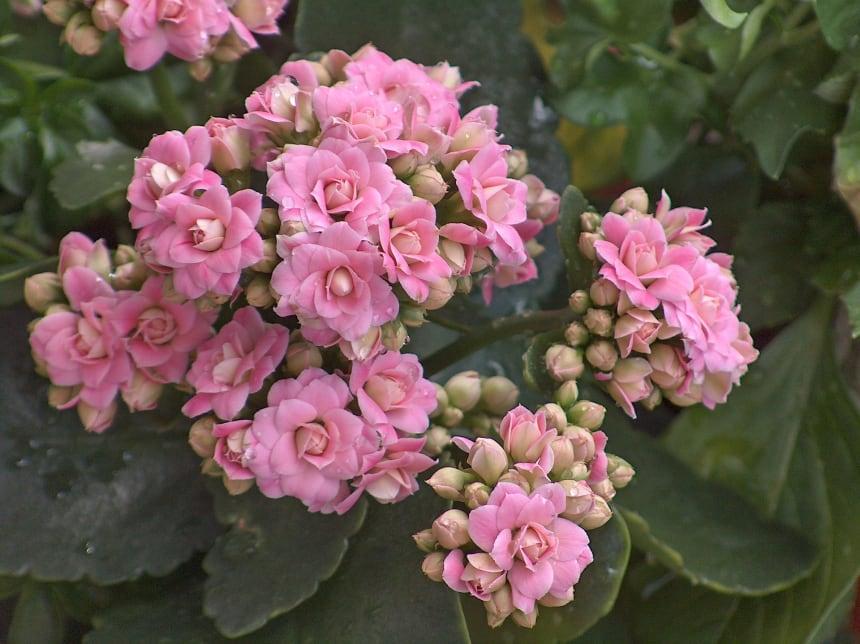 カランコエ【ベンケイソウ科 多肉植物】