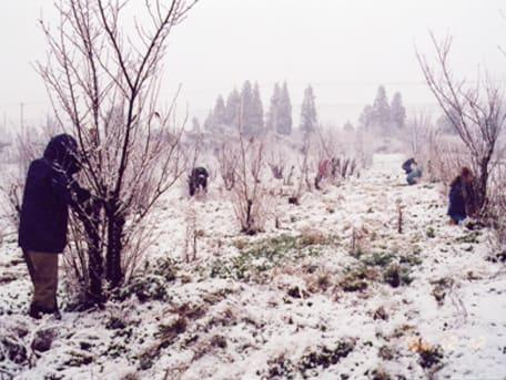 (3)休眠時間が500時間以上あれば、開花させることができるため、木の全体が花芽で覆われる時期を見計らい枝を切ります。この作業は真冬の雪が降るなかでも行われます。