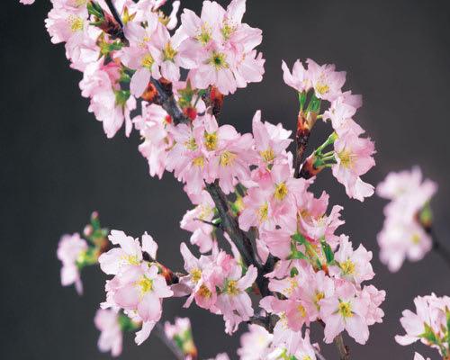 山形県産・冬に咲く桜「啓翁桜」