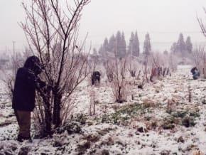 枝を切るために雪が降る中で作業することも