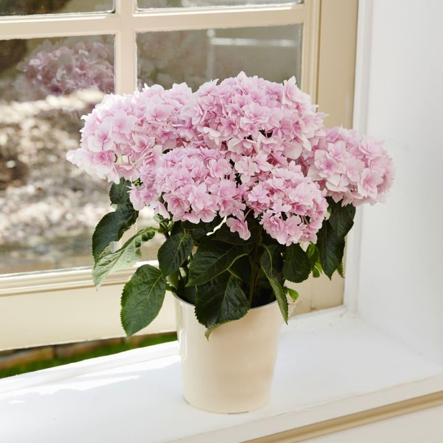 【母の日花ギフト】さくらピンクがカワイイあじさい「ふわり」<br>6,600円(税込)
