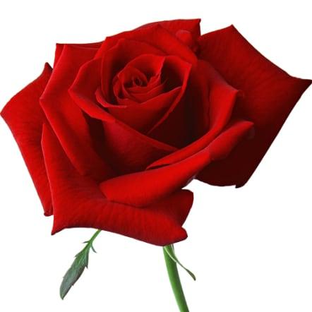 12月の誕生日花 赤バラ