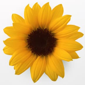7月の誕生日花 ひまわり <br>【花言葉】「私はあなただけを見つめる」「愛慕」「崇拝」「あこがれ」