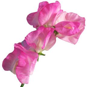 1月の誕生日花スイートピー<br>【花言葉】「門出」「別離」「ほのかな喜び」「優しい思い出」
