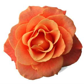 10月の誕生日花 オレンジバラ【花言葉】「絆」「信頼」「愛嬌」