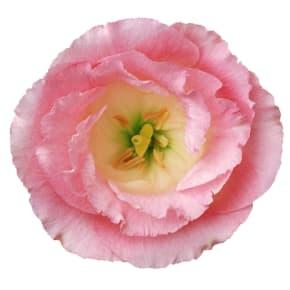 8月の誕生日花 トルコギキョウ<br>【花言葉】「すがすがしい美しさ」「優美」「希望」