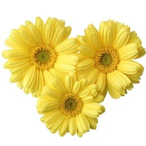 11月の誕生日花 ガーベラ【花言葉】「希望」「常に前進」「前向き」