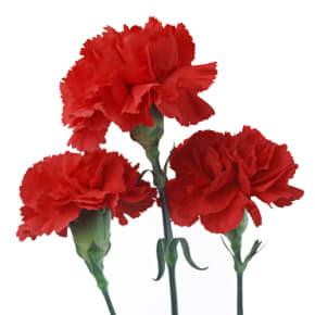 5月の誕生日花 カーネーション【花言葉】「無垢で深い愛」