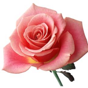 9月の誕生日花 ピンクバラ<br>【花言葉】「しとやか」「上品」「恋の誓い」