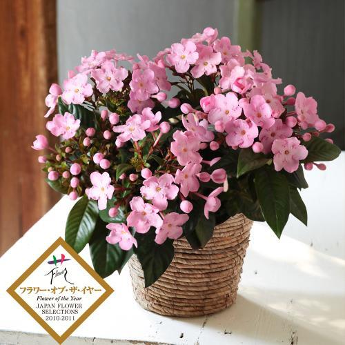 新品種コンテストNO.1に選ばれた! 桜のような可憐なお花とあまい香りが特徴のニオイザクラ「COCO」<br> 4,400円(税込)