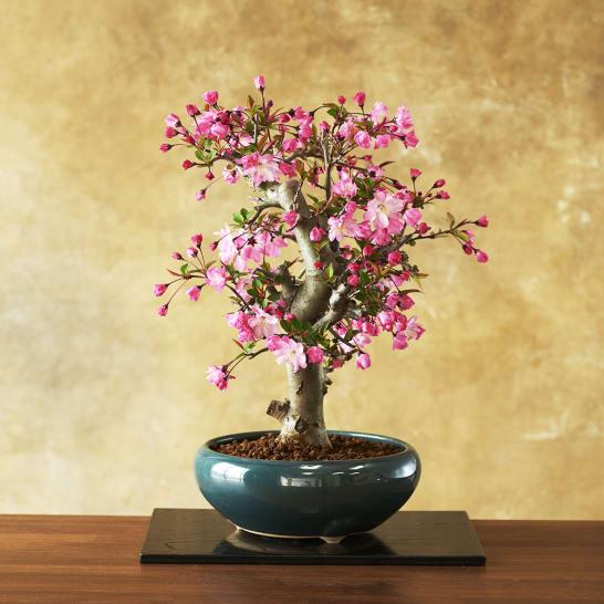 【3月お届け】桜のような花海棠(ハナカイドウ)盆栽<br>7,700円(税込)