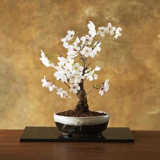 【3月お届け】桜盆栽「吉野」<br>6,050円(税込)