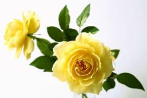 父の日にはバラのプレゼントを贈りましょう!