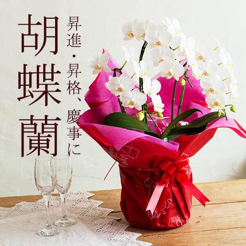 母の日に豪華な胡蝶蘭!